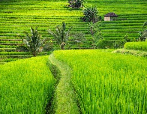 Bali Ubud Rice field-TTL